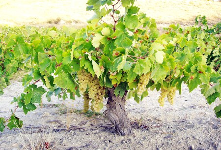 Airén vines trained low off the ground (Photo: Bodegas Ambite).