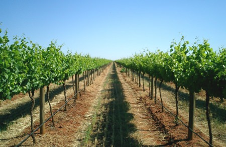 Brookford vineyard: French varietals growing Australian style.