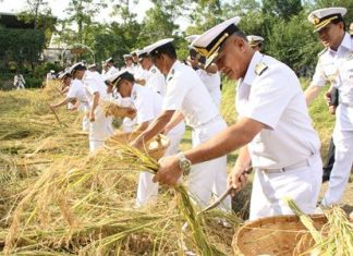 Adm. Kraisorn Chansuvanich leads members of the Navy Wives Association, students from Sattahip schools, Royal Thai Navy personnel, civil servants and local residents to harvest Sanyod-style jasmine rice to honor HM the King.