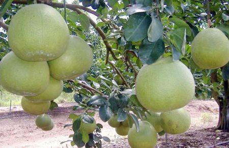 German demand rises for Thai pomelos - Pattaya Mail