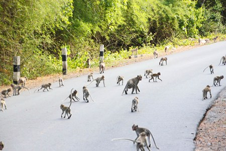 Over 1,000 monkeys have migrated to the Sattahip Naval Base area and officials say that more are expected, so the Royal Thai Navy, Sriracha Conservation Center, and Khet Udomsak municipality have signed an agreement to capture and sterilize female monkeys in Sattahip in hopes of resolving the area's overpopulation problem.
