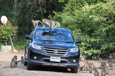 People feeding the monkeys from their cars in the area have exacerbated the problem and are being asked to stop.