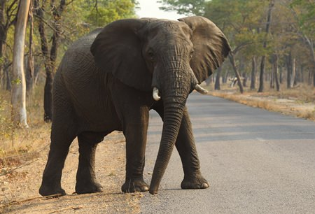 Cancer is much less common in elephants than in humans, even though the big beasts' bodies have many more cells. That's a paradox known among scientists, and now researchers think they may have an explanation. (AP Photo/Tsvangirayi Mukwazhi)