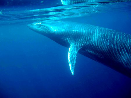 """An underwater view of a Bryde's whale off Thailand. (Photo courtesy """"Morning Dew"""" via Wikipedia.)"""