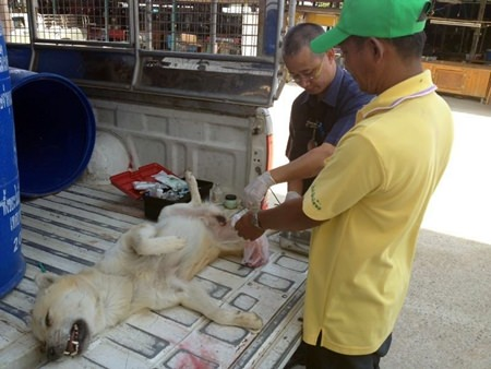 Veterinarian Bandit Ong-Chareon and workers from the Public Health Department visited the Pattanakarn Road to help control the stray animal population in the sub-districts.