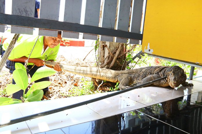 A giant monitor lizard created chaos in Sattahip after it wandered into a seafood restaurant and refused to leave, scattering frightened tourists. Shown here, an animal-control officer grabs the monster by the tail and tries to drag it out where others could help subdue it.