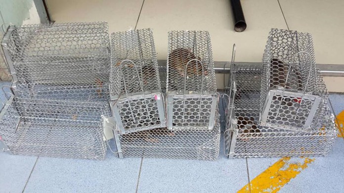 Pattaya health officials have swapped poison for traps to catch beachfront rats in the latest assault in the long-running battle to clear the beach of the four-legged vermin. (Photo: Public Health Department Pattaya)