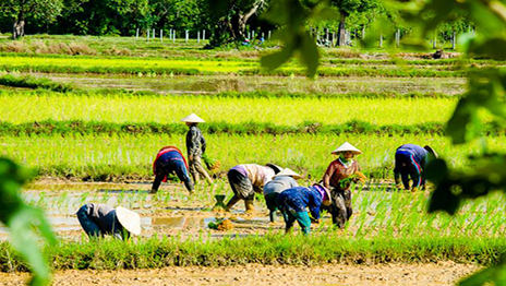 Farmers receive 2,000 baht for every rai of non-rice crops planted