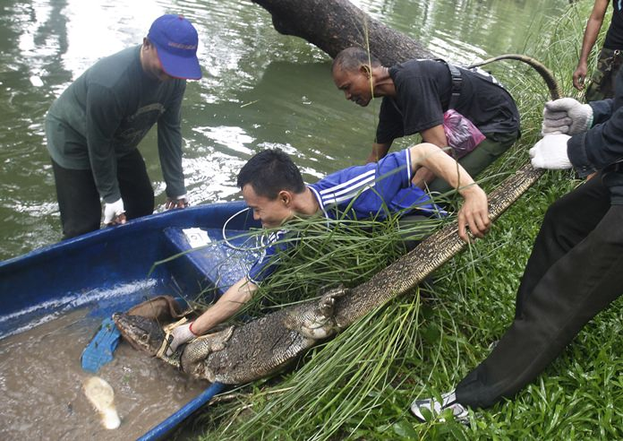 Officers catch a monitor lizard in a snare at Lumpini Park in Bangkok, Tuesday, Sept. 20. (AP Photo/Sakchai Lalit)