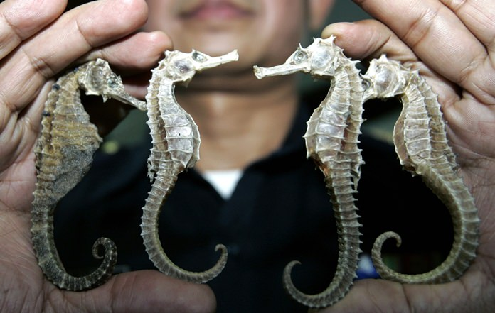 In this March 16, 2007 file photo, a Thai customs official shows confiscated seahorses during a press conference in Bangkok. Thailand, the biggest exporter of seahorses, is suspending trade in the animal because of concern about threats to its wild population. (AP Photo/Sakchai Lalit, File)
