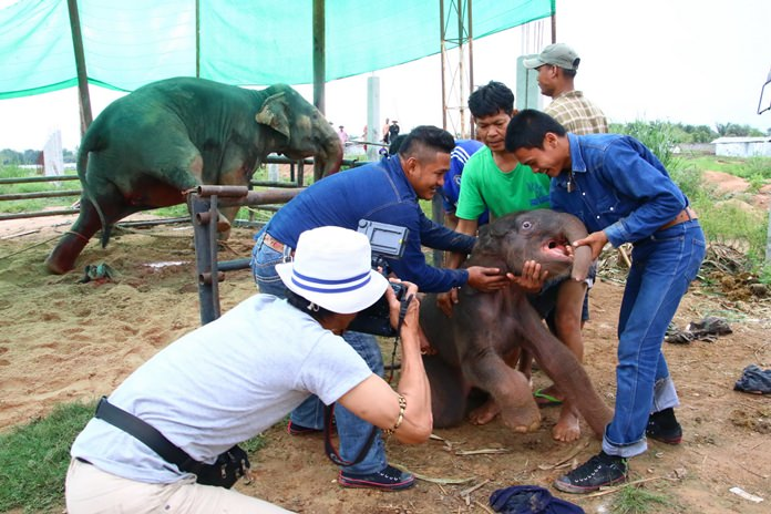 A Nong Nooch Tropical Garden employee was hurt, but workers were able to bring the frightened newborn elephant to safety away from its rampaging mother.