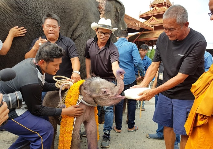 Park Director Kampol Tansajja has his Nong Nooch Tropical Garden nursing back to health a baby elephant abandoned in the wild by its mother.