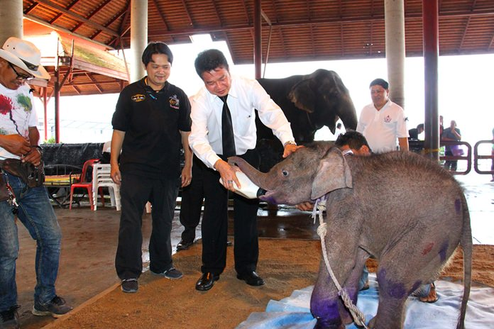 Sattahip's district chief Noraset Sritapatso visited Nong Nooch Tropical Garden to check on a baby elephant rescued earlier from the wild.