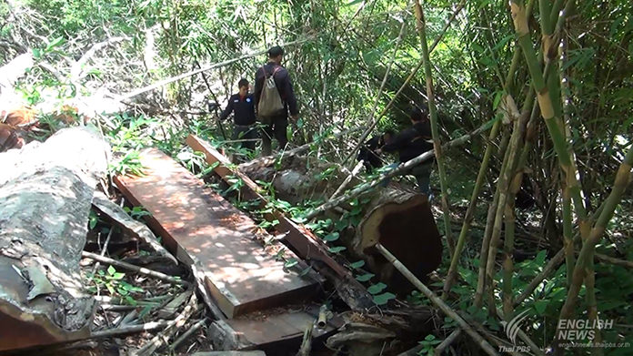 200-year old Makamong tree felled by illegal loggers