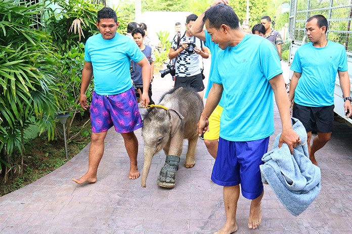Currently the animal's leg is splinted with support added to equalize the length of the legs. But the animal has been loathe to put weight on the injury, causing the muscles to become weak.