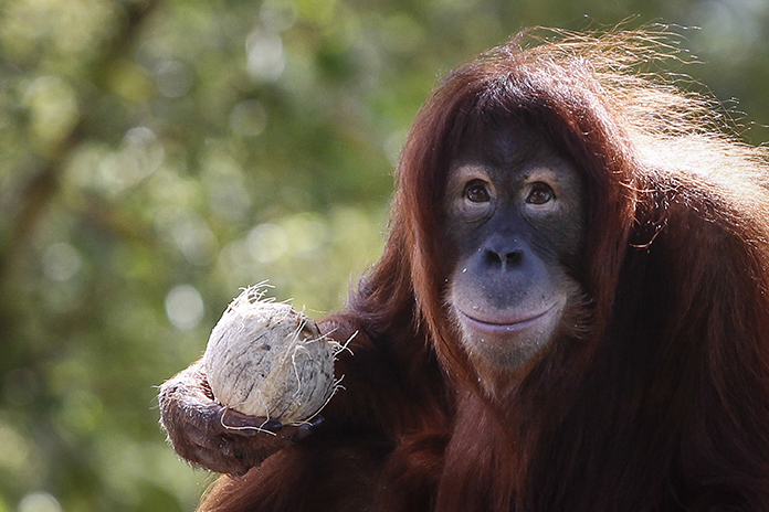 In this Dec. 31, 2015, file photo, Tsunami, an eleven year old female Sumatran Orangutan eats fruit during her birthday celebration at the National Zoo Ape Center in Kuala Lumpur, Malaysia. Primates are heading toward an extinction crisis, a new international study warns. (AP Photo/Joshua Paul, File)