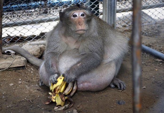 """A wild obese macaque named """"Uncle Fat"""" sits with bananas in a rehabilitation center in Bangkok, Friday, May 19. (AP Photo/Sakchai Lalit)"""