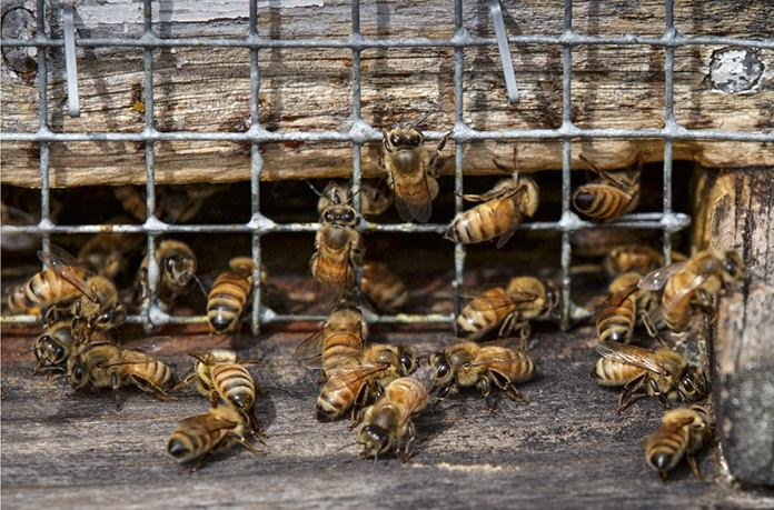 Honeybees work in a hive located in an apple grove at Hartland Orchard, a family farm near the Blue Ridge Mountains in Markham, Va. A U.S. survey of beekeepers released on Thursday, May 25, 2017 found improvements in the outlook for troubled honeybees. Winter losses were at the lowest levels in more than a decade with only 21 percent of the colonies dying. (AP Photo/J. Scott Applewhite)