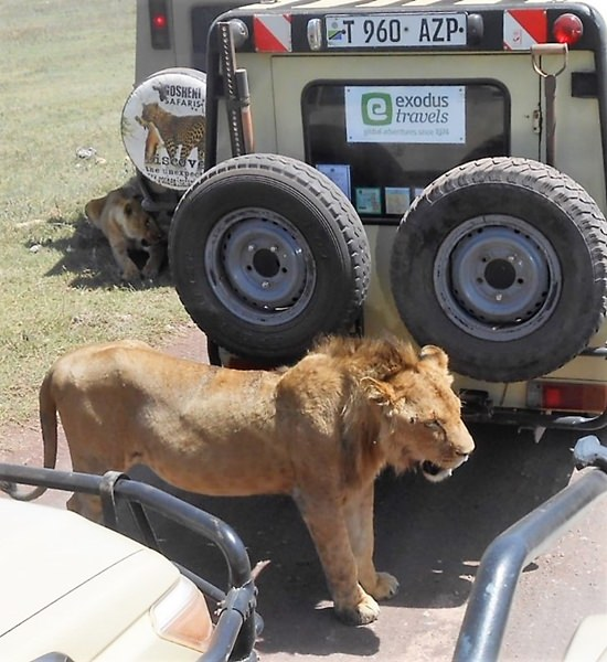 George Wilson said one of the great things about his trip was viewing the animals, such as this lion roaming free in its natural habitat, rather than caged in some zoo.