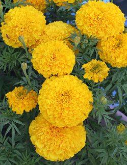 The auspicious marigold.