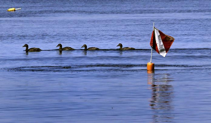 In this June 15, 2017, photo, a string of ducks paddle past a warning flag over research divers, out to collecting samples of a red shrub-like seaweed, in the waters off Appledore Island, Maine. (AP Photo/Charles Krupa)
