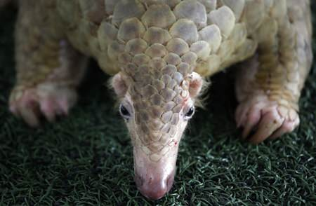 A Thai customs official displays one of 136 pangolins and 450 kgs. (992 lbs.) of pangolin scales it seized, estimated to be worth over 2.5 million baht (USD$75,278) during a press conference at the Customs Department headquarters in Bangkok, Thailand.(AP Photo/Sakchai Lalit)
