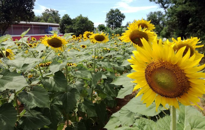 Yellow flowers, including these sunflowers, are being planted throughout town in memory of HM the Late King.