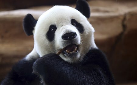 A giant male panda from China named Cai Tao eat eats a stick at Taman Safari Indonesia zoo in Bogor, West Java, Wednesday, Nov 1. (AP Photo/Achmad Ibrahim)