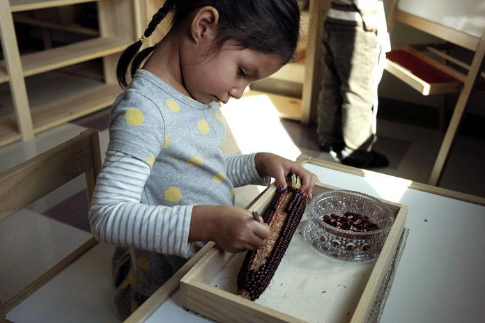 In this Oct. 12, 2017 photo a child in a combined pre-kindergarten and kindergarten Wampanoag language immersion class removes kernels from an ear of corn at the Wampanoag Tribe Community and Government Center, in Mashpee, Mass. (AP Photo/Steven Senne)
