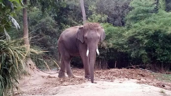 The owner of a Huay Yai elephant camp was charged with negligence after a Chinese tourist pulled Plai Uten's tail, causing it to charge the crowd and kill a tour guide.
