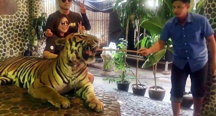The Million Years Stone Park and Pattaya Crocodile Farm has transferred a staff member caught on video repeatedly poking a tiger to make it pose for photos. (Photo by Edwin Wiek, the founder of Wildlife Friends Foundation Thailand)