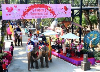 District Chief Pongphan Yomanart presides over registration for newlyweds on the back of elephants.