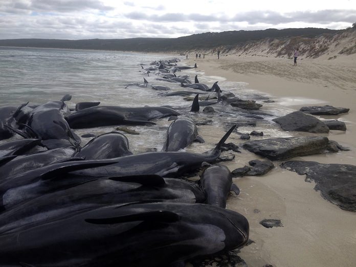 This image shows more than 150 short-finned pilot whales beached at Hamelin Bay, in Western Australia, Friday, March 23. (WA Department of Biodiversity, Conservation and Attractions, Parks and Wildlife Service/AAP via AP)
