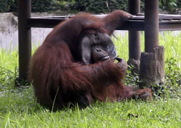 In this image made from video, an adult male orangutan smokes a cigarette in its enclosure at Bandung Zoo in Bandung, West Java, Indonesia, Sunday, March 4. (AP Photo)