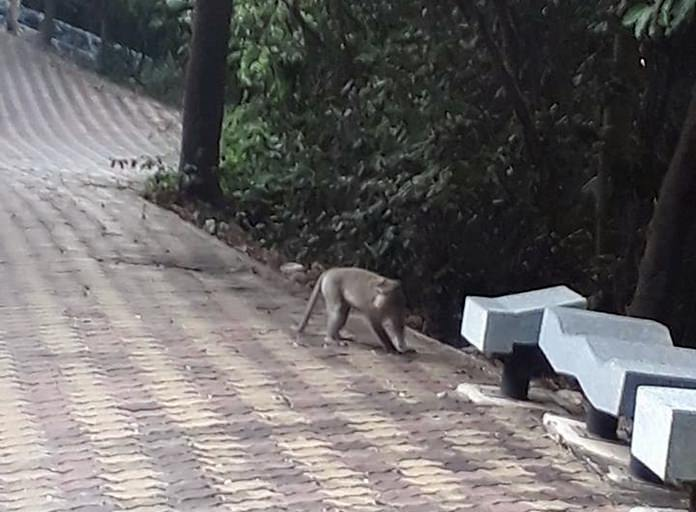 Tourists and neighbors of wooded areas around Pattaya are calling on authorities to cull the stray dog and monkey population in the face of the current rabies crisis.