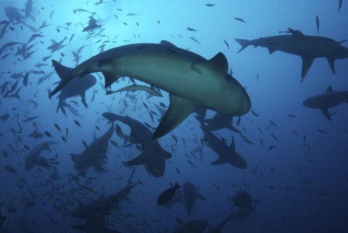 A school of silhouetted bull sharks (Carcharhinus leucas) circle for food near the ocean's surface. (AP Photo | Keith A. Ellenbogen)