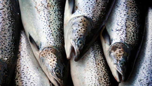 Farm-raised Atlantic salmon move across a conveyor belt as they are brought aboard a harvesting boat near Eastport, Maine. Two conservation groups say a deal has been struck with commercial fishermen in Greenland and the Faroe Islands to protect thousands of vulnerable Atlantic salmon. (AP Photo/Robert F. Bukaty, File)