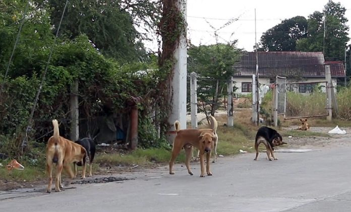 City veterinarian Surapong Wongsuttawad says stray dogs actually are beneficial to local communities, as they are warning signs for strangers or criminals and can safely co-exist with people if they are properly vaccinated and sterilized.