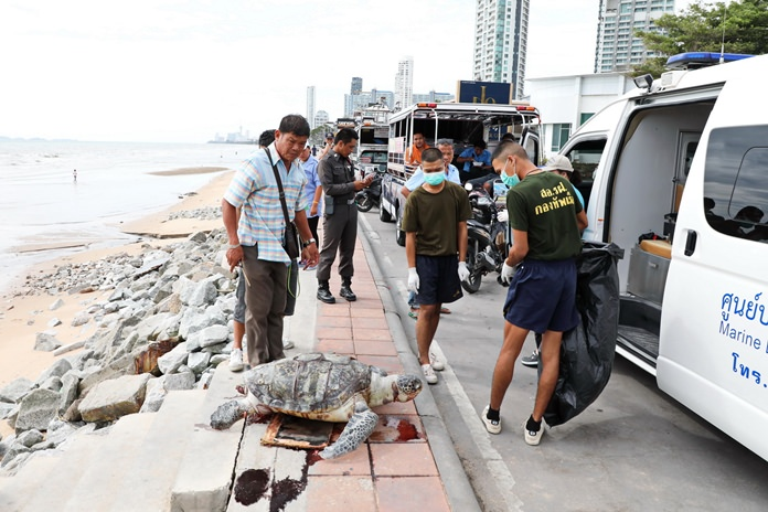A 20-year-old endangered green turtle was found dead on Jomtien Beach, a victim of sewage pollution.