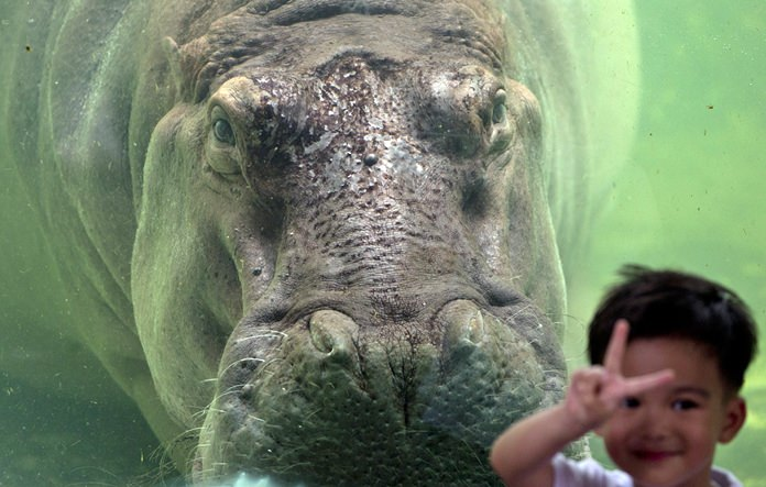 A child poses for a picture standing next to female hippopotamus named Mali at the Dusit Zoo. (AP Photo/Gemunu Amarasinghe)