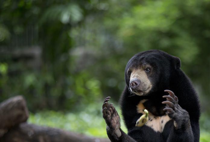 A Malayan Sun bear unsuccessfully tries to catch a banana tossed by a zoo-keeper. (AP Photo/Gemunu Amarasinghe)
