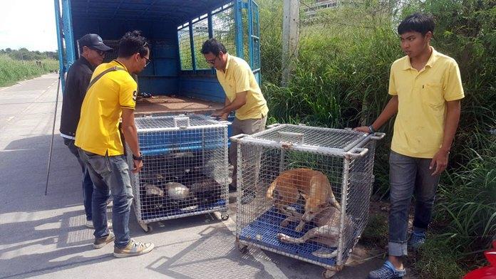 Pattaya's dog catchers rounded up a dozen stray canines behind Banglamung Hospital Oct. 22.