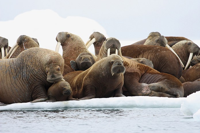 In this July 17, 2012, file photo, adult female Pacific walruses rest on an ice flow with young walruses in the Eastern Chukchi Sea, Alaska. A lawsuit making its way through federal court in Alaska will decide whether Pacific walruses should be listed as a threatened species, giving them additional protections. (S.A. Sonsthagen/U.S. Geological Survey via AP, File)