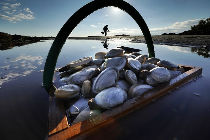 In this Sept. 2, 2016, file photo, a friend's basket of clams sits in the water as Mike Suprin, of Rollinsford, N.H., calls it a day after filling his basket with softshell clams at Cape Porpoise in Kennebunkport, Maine. A study by National Oceanic and Atmospheric Administration scientists released in 2018 concluded that valuable species of shellfish, including softshell clams, have become harder to find on the East Coast because of degraded habitats caused by a warming environment. (AP Photo/Robert F. Bukaty, File)