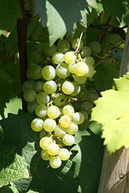 Gruber Grüner Veltliner grapes.