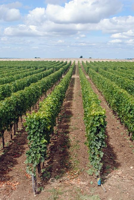 French vineyard.