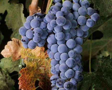 Merlot grapes.