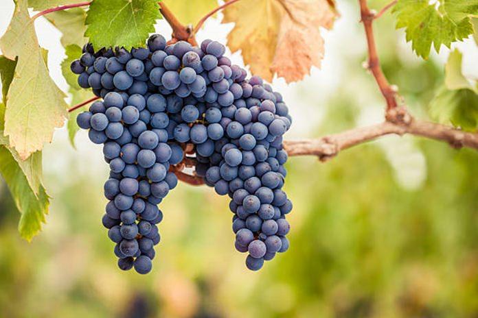 Pinot noir grapes.