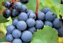 Cabernet-Sauvignon-grapes.