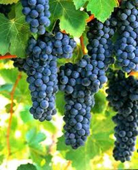 Shiraz grapes.